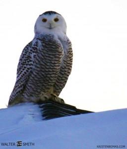 WI Snowy Owl